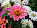 It's Zinnia Time! by trixxie17, photography->flowers gallery
