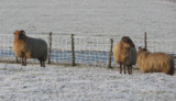 more sheep in the cold by Gabbels, Photography->Animals gallery