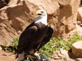 Captive Eagle by ederyunai, Photography->Birds gallery