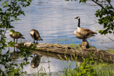 Mediation Geese by Pistos, photography->birds gallery