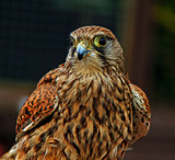 Predator by biffobear, photography->birds gallery