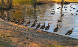 Got All My Ducks in a Row by sitagirl02, photography->birds gallery