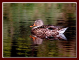 Mallard 6 by gerryp, Photography->Birds gallery