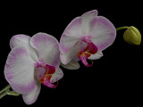 Orchids for Valentines by Gary1592, Photography->Flowers gallery