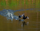 Forrest Coot by biffobear, photography->birds gallery