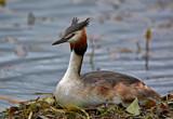 Incubating by biffobear, photography->birds gallery