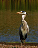 Great Grey by biffobear, photography->birds gallery