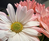 Pink and White by Starglow, photography->flowers gallery