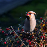 Waxwing 1 by biffobear, photography->birds gallery