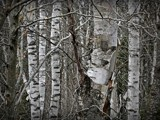 Birch trees by picardroe, photography->nature gallery