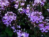 Senorita Rosalita Spider flower by trixxie17, photography->flowers gallery