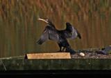 Batman by biffobear, Photography->Birds gallery