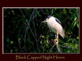 Black Capped Night Heron by gerryp, Photography->Birds gallery