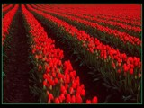 Row After Row by photoimagery, Photography->Flowers gallery