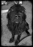 Nana the Goofy Newfie by mikerkim, photography->pets gallery