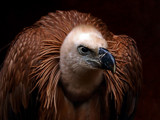 Ruppells Griffon Vulture by biffobear, photography->birds gallery