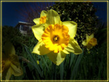 The Daffodill Dilemna by Flmngseabass, photography->flowers gallery