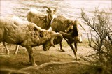 Bighorn Standoff by incommon, photography->animals gallery