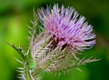 Thistle Thug by PatAndre, Photography->Flowers gallery