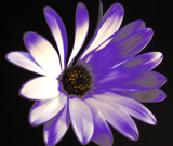 Lavender Daisy by ccmerino, Photography->Flowers gallery