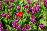 Zeeland Tulip Fields 6 by corngrowth, photography->flowers gallery
