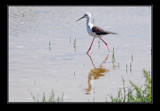 Black-winged Stilt by jesouris, Photography->Birds gallery