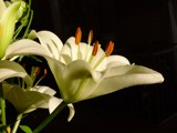 white lily 2 by magical, Photography->Flowers gallery
