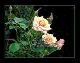Elegance in the Roses by verenabloo, Photography->Flowers gallery
