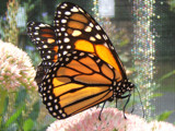Monarch by Paprika114, Photography->Butterflies gallery