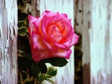 A Rose By Any Other Name by photoimagery, Photography->Flowers gallery