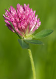 Clover flower by Genver, photography->flowers gallery