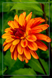 Dahlia Show 17 by corngrowth, photography->flowers gallery