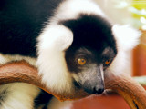 Black and White Ruffed Lemur by braces, Photography->Animals gallery