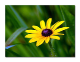 Black Eyed Susan by gerryp, Photography->Flowers gallery