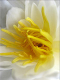 Water Lily Profile by June, Photography->Flowers gallery