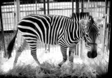 Simplified Zebra by Jimbobedsel, contests->b/w challenge gallery