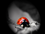 ladybug by jangetagrip, Photography->Insects/Spiders gallery