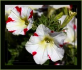 Petunias by LynEve, photography->flowers gallery