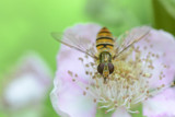 Hover Fly by MJsPhotos, photography->macro gallery