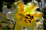 Sunkissed Lily by LynEve, photography->flowers gallery