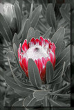 Protea by slushie, photography->manipulation gallery