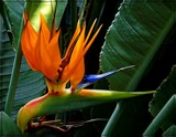 Bird of Paradise by trixxie17, photography->flowers gallery