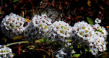 The Plastic World Of Alyssum by braces, photography->manipulation gallery