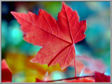 Maple Leaf by noranda, Photography->Nature gallery
