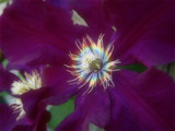 Clematis by Heroictitof, photography->manipulation gallery