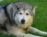 4 All you Malamute lovers by DigitalFX, photography->pets gallery