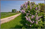 Wild Lilacs by corngrowth, Photography->Landscape gallery