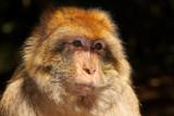 Monkey by Paul_Gerritsen, Photography->Animals gallery
