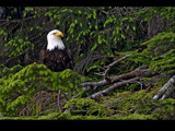 eagle in a tree by jeenie11, Photography->Birds gallery