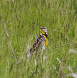 Where else can you find a Meadowlark? by Pistos, photography->birds gallery
